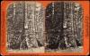 1872_charles-Bierstadt_Bier-Big-Trees