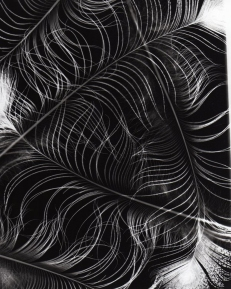feather_photogram_by_iheartbrassai